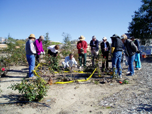 A rose pruning demonstration.